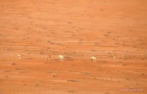 Oman Wüstensafari durch die Wahiba Sands